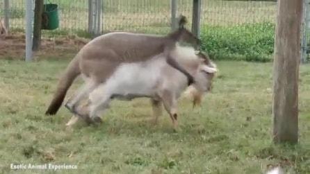 Il canguro in amore prova ad accoppiarsi con una capra