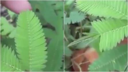 La pianta risponde al tocco della mano: ciò che accade vi lascerà a bocca aperta