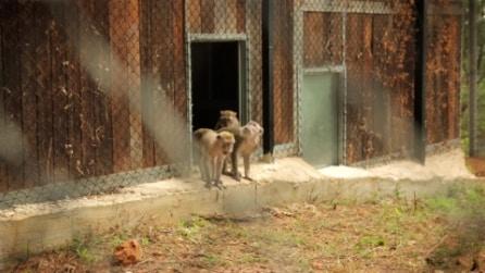 I 16 macachi salvati dalla LAV ritrovano la libertà