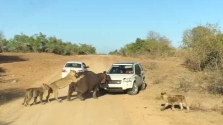 """L'ippopotamo """"contro"""" la jeep mentre i leoni lo attaccano da dietro"""