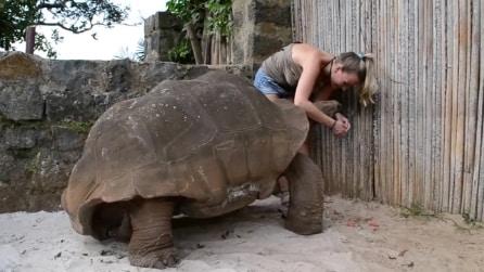 Si avvicina a una tartaruga gigante e le dà da mangiare