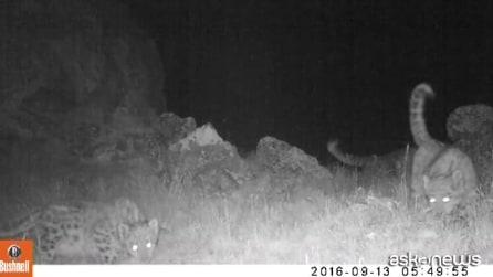 Il regalo di Natale del Wwf rare immagini di leopardo delle nevi