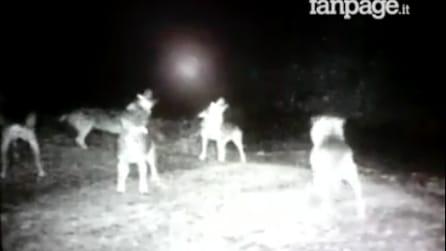Lucca, un branco di lupi ulula al chiaro di luna: la telecamera cattura la scena