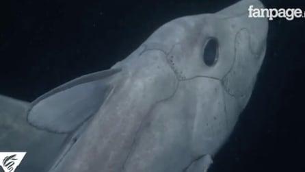 Squalo fantasma avvistato in California: il raro esemplare filmato per la prima volta negli abissi