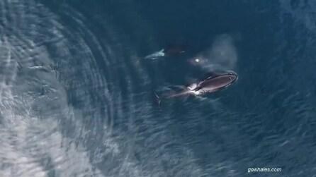 Il branco di orche accerchia e sbrana uno squalo