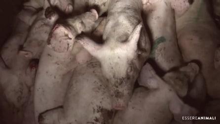 Maiali maltrattati, lasciati morire e sporchi: il lato oscuro del Prosciutto di Parma