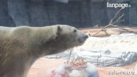 Unico esemplare nato vicino ai tropici: l'orso polare Inuka compie 26 anni