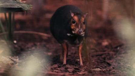 Rarissimo esemplare di topo-cervo al Chester Zoo: la straordinaria nascita in Inghilterra
