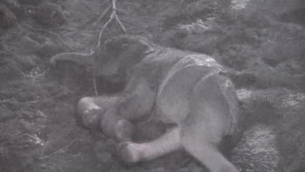 Il momento emozionante della nascita di un elefantino