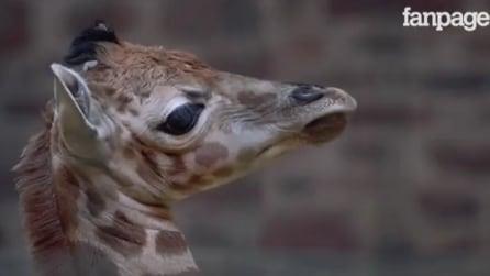 Inghilterra, lieto evento allo zoo: nato un raro esemplare di giraffa di Rothschild