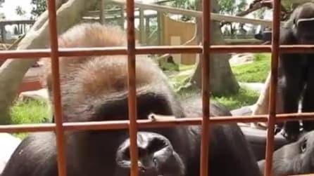 Il gorilla guarda il lombrico per la prima volta: le divertenti immagini