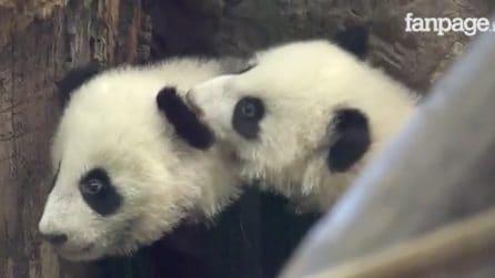 Per la prima volta in pubblico: due panda gemelli fanno il loro esordio allo zoo di Vienna