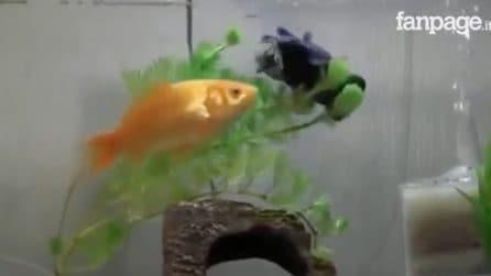 Il pesce rosso aiuta l'amico malato che non riesce a nuotare: lo spinge verso il cibo