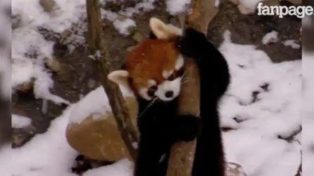 I cuccioli di panda rosso vedono la neve per la prima volta: la loro reazione è dolcissima