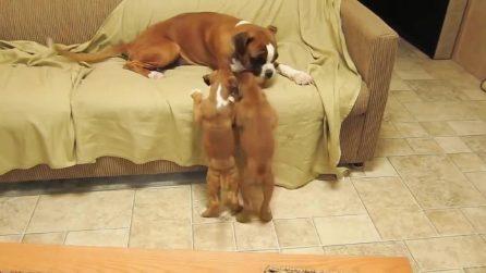Mamma boxer ha difficoltà a tenere a bada i suoi piccoli cuccioli: un video divertentissimo