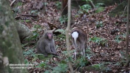 Il macaco e il cervo fanno sesso? Ecco cosa è successo davvero