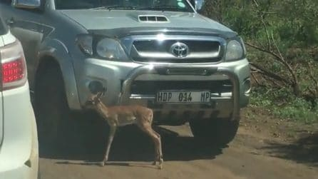 Sudafrica, il piccolo impala si nasconde tra le auto: il leopardo non gli lascia scampo