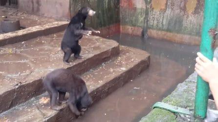Chiedono cibo ai visitatori e sono molto magri: ecco chi sono gli orsi dello zoo della morte