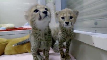 Cuccioli di ghepardo durante una sessione di gioco: le due sorelline vi conquisteranno