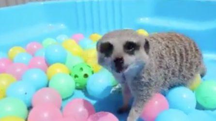 Il piccolo animale gioca con le palline mentre fa il bagnetto: la scena è dolcissima