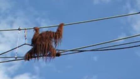 L'orango funambolo: cammina sulle funi e sorprende la folla