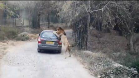 L'attacco del leone alla macchina, paura durante il safari