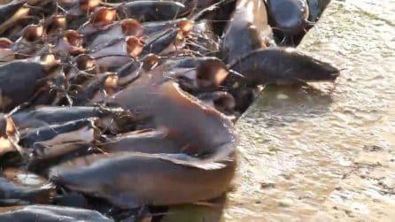 Centinaia di pesci nel fiume: qualcuno salta fuori dall'acqua per poter mangiare