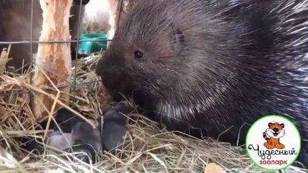 A prendersi cura dei coniglietti appena nati è un porcospino: la scena insolita allo zoo