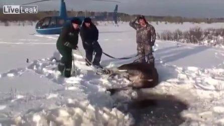 Salvato da un gruppo di piloti, il povero alce rischiava di morire congelato