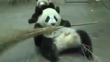 """Il piccolo panda """"ruba"""" la scopa al guardiano: fa i capricci e si rifiuta di restituirla"""