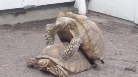 """Tartarughe """"focose"""" si accoppiano allo zoo: le scena filmata da un visitatore"""