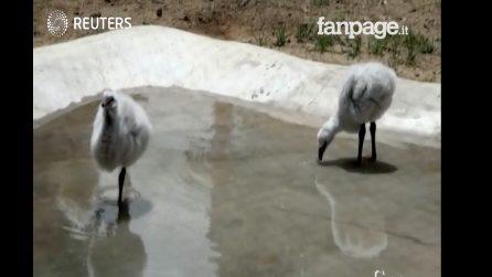 Condor e pulcini di fenicottero: i nuovi nati allo zoo di La Paz