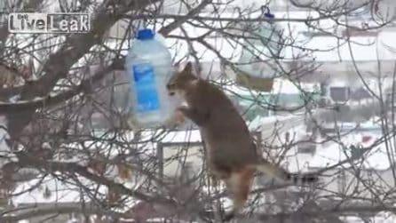 Si arrampica per rubare la pancetta dalla mangiatoia degli uccelli: l'abile furto del gatto