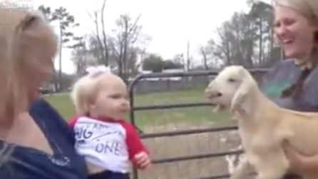 La bimba risponde all'agnellino e lo imita: la scena è esilarante