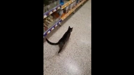 Un gatto a spasso tra gli scaffali: bizzarro avvistamento nel supermercato