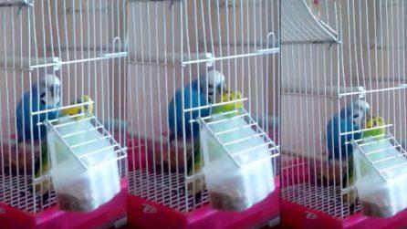 Baci e coccole fra pappagallini, la scena è bellissima