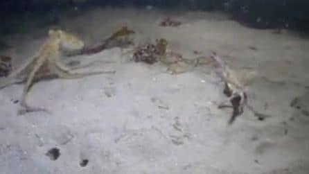 Il polpo insegue il granchio ma quello che accade dopo sorprende i sub