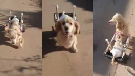 Cagnolino disabile corre felice con il carrellino: la scena è davvero emozionante