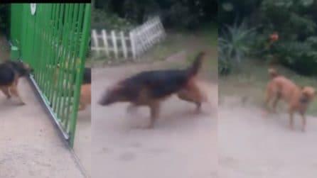I cani litigano attraverso le sbarre ma quello che succede quando si apre il cancello è assurdo