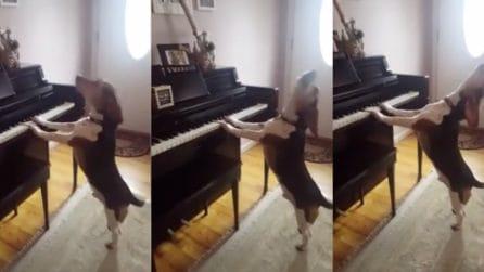 """""""Suona e canta"""": il cane al pianoforte è esilarante"""