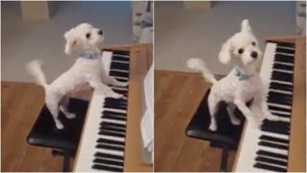 Megan, la dolce cagnolina pianista: canta e suona come una vera star