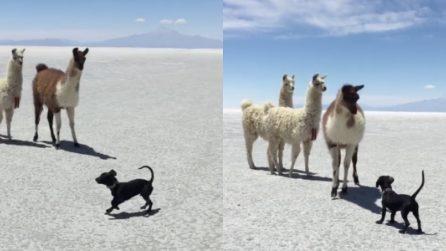 Il cucciolo vuole giocare con i lama: il tenero incontro nel deserto
