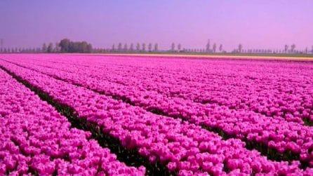 Un campo con 250.000 tulipani sboccerà in primavera alle porte di Milano