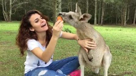 Lo spuntino del piccolo animale al Morriset Park, il parco dei canguri
