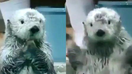 Batte le zampine in modo davvero simpatico: la piccola lontra è dolcissima