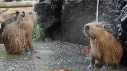 Il bagnetto dei capibara: il momento è davvero rilassante