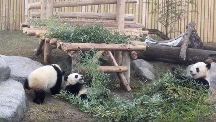 Cuccioli di panda giocano con le piante allo zoo: le tenere immagini