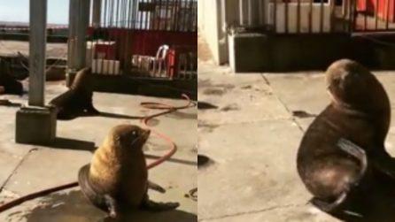 Le foche si rilassano al sole: il tenero momento degli animaletti