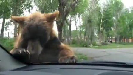 L'orso curioso sale sul cofano della macchina: l'incontro ravvicinato a Yellowstone
