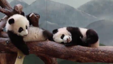 Baby panda gemelli in un momento di relax allo zoo: un concentrato di dolcezza